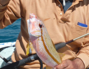 オジサンという魚にはヒゲがある