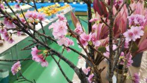 沖縄 カンヒザクラ 開花