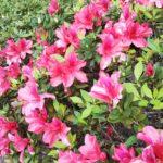 沖縄サクラは南下する!?沖縄のヒカンザクラ開花について