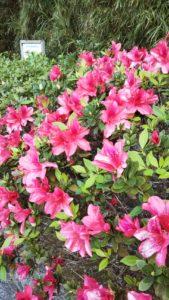 沖縄 ツツジ 開花