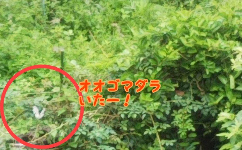 構造色が美しい!オオゴマダラ!沖縄に生息する日本最大級のチョウ