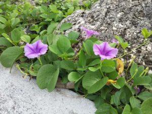 浜に咲くグンバイヒルガオ