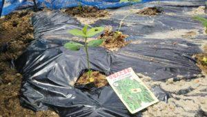 黒マルチで畝を覆い、枝豆を植えます