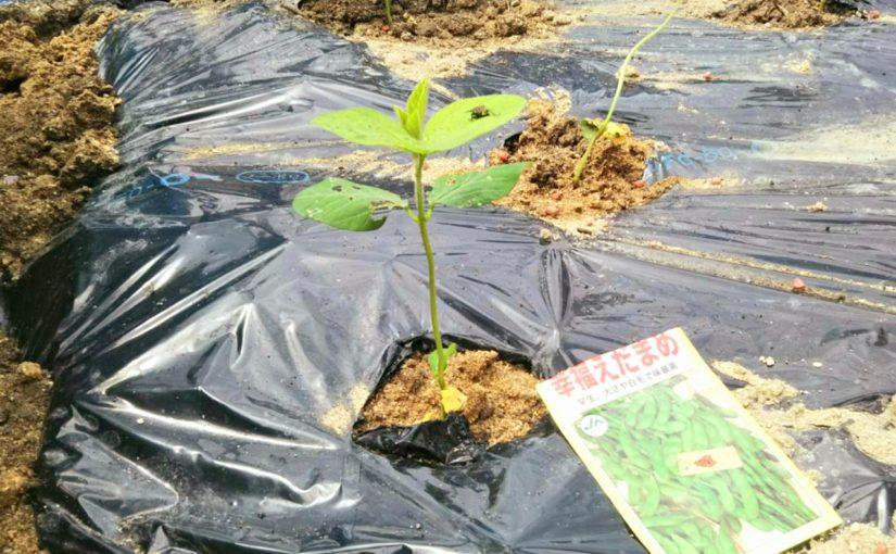黒マルチで本格的に!グランパ、枝豆と島らっきょうを植える