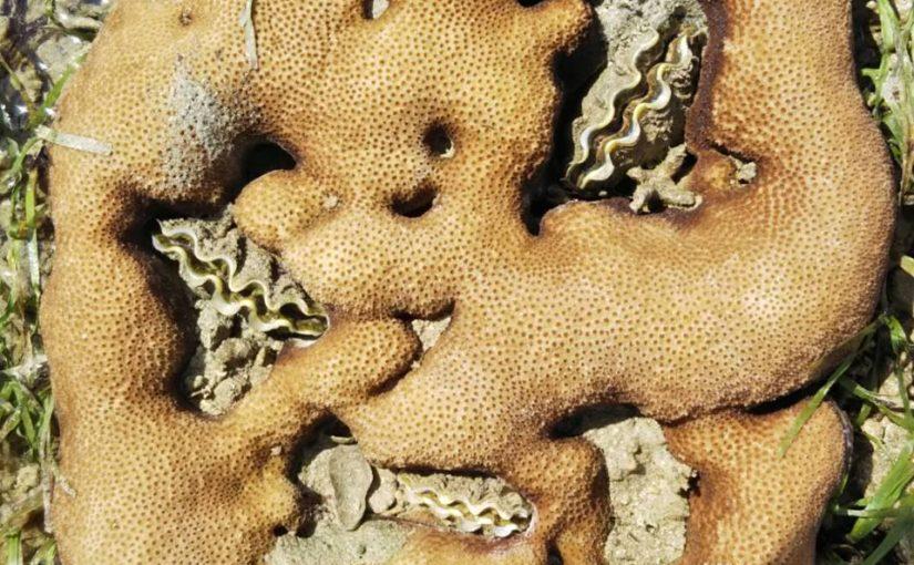 サンゴに囲まれてしまったシャコガイが窮屈そう