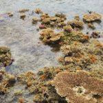 大潮の日、造礁サンゴが海面から露出してるけど大丈夫なの?